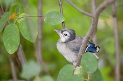 Baby blue jay, Cyanocitta cristata. A fledgling blue jay rests Royalty Free Stock Photography