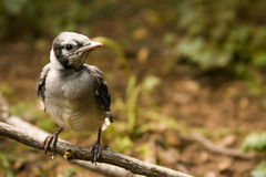 Baby Blue Jay. A baby blue jay perches after his first attempt at flight Royalty Free Stock Images