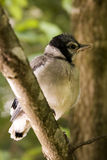 Baby Blue Jay Royalty Free Stock Images