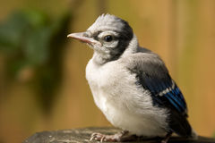 Baby Blue Jay. A baby blue jay perches after his first attempt at flight Royalty Free Stock Photo