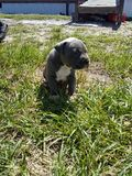 Baby Blue nose pit royalty free stock images