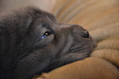 Baby blue sharpei puppy closeup. Baby sharpeis, age 2 weeks old, lilac puppy, sleeping on another dog, head close up Stock Image