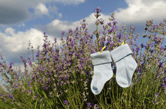 Baby blue socks and lavender field. Baby socks and lavender field royalty free stock image