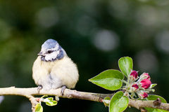 Baby Blue Tit on apple tree in spring. Baby Blue tit perched on an apple tree branch in springtime with red blossom buds and green leaves stock image