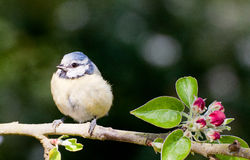Baby Blue Tit perched on apple tree in spring. Baby Blue tit perched on an apple tree branch in springtime with red blossom buds and green leaves stock photography