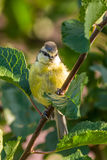 Baby blue tit is perched on the branch of plum tree Stock Photos