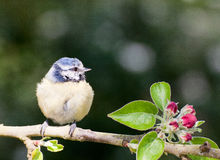 Baby Blue Tit perching on apple tree in spring. Baby Blue tit perched on an apple tree branch in springtime with red blossom buds and green leaves Royalty Free Stock Photo