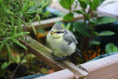 Baby blue tit sitting on rooftop garden on cold spring day Stock Photos