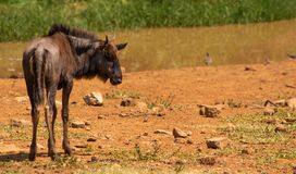 Baby blue wildebeest looking right royalty free stock photos