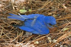 Baby Bluebird. Sitting on Pine Straw royalty free stock photography