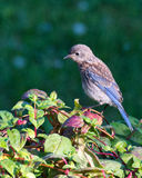 Baby Bluebird on fuscia in early morning light Stock Photos
