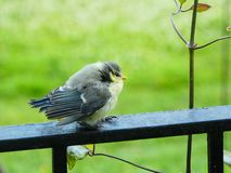 Baby Bluetit on the rail. Baby Bluetit lands on the rail whcih enables it to see the feeding station and check whether or not it`s safe to go down or perhaps it royalty free stock photography