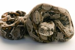 Baby boa constictor. Close-up of a baby boa condtrictor Royalty Free Stock Images