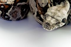 Baby boa constictor close-up. Close-up of a baby boa condtrictor Royalty Free Stock Photo