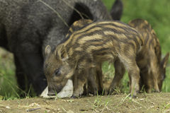 A baby boar eats some food Royalty Free Stock Photo