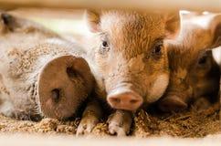 Baby boar Stock Photos