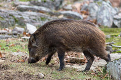 Baby Boar Royalty Free Stock Image