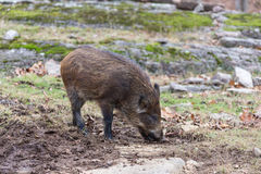 Baby Boar Royalty Free Stock Photography