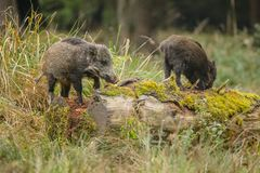 Baby boar foraging Royalty Free Stock Images