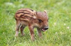 Baby boar Stock Photo