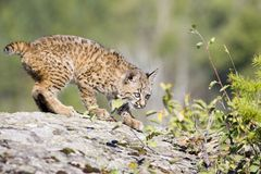 Baby Bobcat. A baby bobcat at play on a rock Royalty Free Stock Image