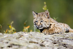 Baby Bobcat. A baby bobcat at play on a rock Stock Photos