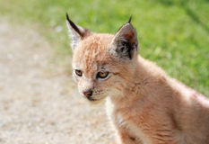 Baby bobcat Stock Foto's