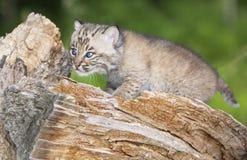 Baby bobcat Royalty-vrije Stock Afbeelding