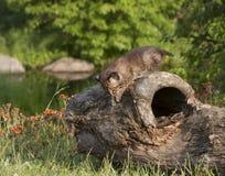 Baby Bobcat Climbing op Logboek Stock Afbeeldingen