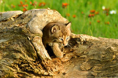 Baby bobcat coming out of a log Royalty Free Stock Image