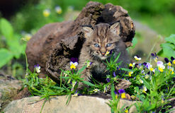 Baby Bobcat hiding in a hollow log. Royalty Free Stock Photos