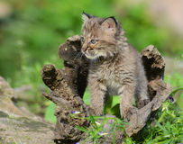 Baby Bobcat hiding in a hollow log. Stock Photos