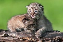 Baby Bobcat Kit (Luchs rufus) tröstet Geschwister Stockbild