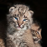 Baby Bobcat Kit (Lynx rufus) Closeup Stock Image