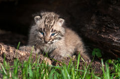 Baby Bobcat Kit (Lynx rufus) Fierce Stare Royalty Free Stock Photography
