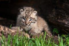 Baby Bobcat Kit (Lynx rufus) Fierce Stare Royalty Free Stock Photography