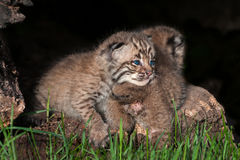 Baby Bobcat Kit (Lynx rufus) Lies on Sibling Royalty Free Stock Photos