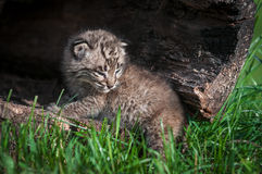 Baby Bobcat Kit (Lynx rufus) at Log Opening Stock Photography