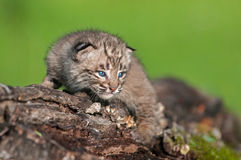 Baby Bobcat Kit (Lynx rufus) Stares from Log Royalty Free Stock Images