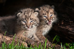 Baby Bobcat Kit (Lynx rufus) Stares Out Stock Photos