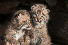 Baby Bobcat Kits (Lynx rufus) Lean on Each Other Royalty Free Stock Images