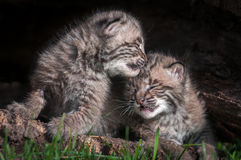 Baby Bobcat Kits (Lynx rufus) Lean on Each Other Royalty Free Stock Photo