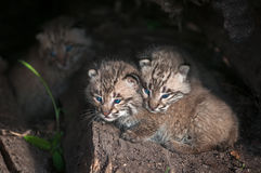 Baby Bobcat Kits (Lynx rufus) in Log Stock Photos