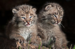 Baby Bobcat Kits (Lynx rufus) Sit Together Royalty Free Stock Photo