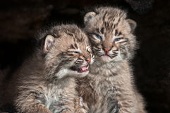 Baby Bobcat Kits (Lynx rufus) Stare Out from Log. Captive animals stock images