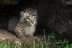 Baby Bobcat Kitten (Lynx rufus) Looks Out From Log Royalty Free Stock Images
