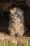 Baby Bobcat Kitten (Lynx rufus) Sits Up Inside Log Royalty Free Stock Image
