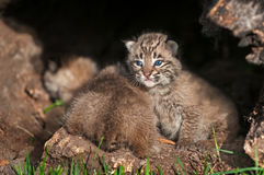 Baby Bobcat Kittens (Lynx rufus) Fore and Aft Royalty Free Stock Images