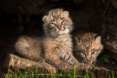 Baby Bobcat Kittens (Lynx rufus) in Hollow Log. Captive animal Stock Photo