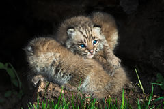 Baby Bobcat Kittens (Lynx rufus) Lie in Pile Royalty Free Stock Images